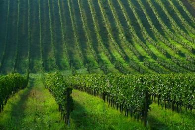 ESTATE WITH VINEYARD FOR SALE FLORENCE  Maggiori Dettagli e Foto